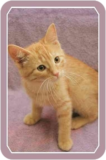 Domestic Shorthair Cat for adoption in Sterling Heights, Michigan - Honey - ADOPTED!
