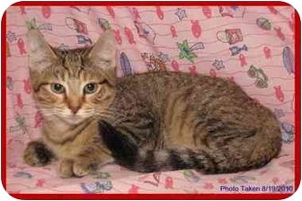 Domestic Shorthair Kitten for adoption in Orlando, Florida - Tessa