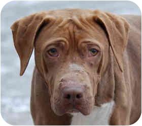 Shar Pei/American Pit Bull Terrier Mix Dog for adoption in Olathe, Kansas - Rocky