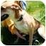 Photo 2 - German Shepherd Dog/Labrador Retriever Mix Dog for adoption in Walker, Michigan - Roxie