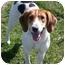 Photo 1 - Hound (Unknown Type)/Foxhound Mix Dog for adoption in Aledo, Illinois - Lady