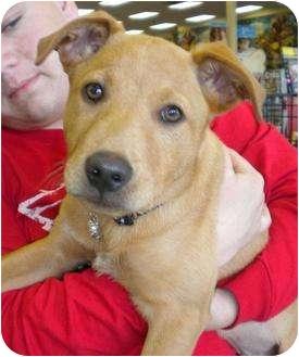 Labrador Retriever/Golden Retriever Mix Dog for adoption in Humble, Texas - Barrett
