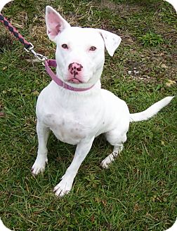 American Pit Bull Terrier Mix Dog for adoption in Somerset, Pennsylvania - Mia Sue