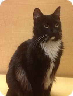 "Domestic Shorthair Cat for adoption in Modesto, California - Ari-""Zona"""