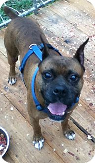 Boxer Dog for adoption in Hazard, Kentucky - Mosby