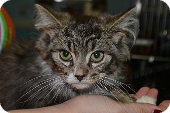Domestic Mediumhair Kitten for adoption in Edwardsville, Illinois - Marlin