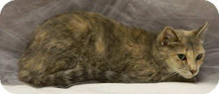 Domestic Shorthair Cat for adoption in Columbus, Nebraska - Memory