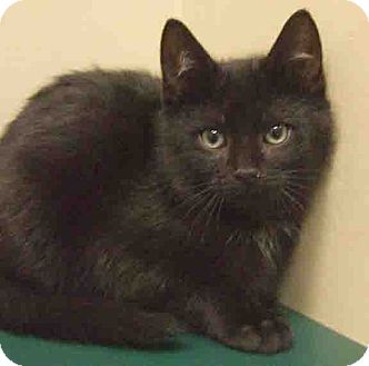 Domestic Shorthair Kitten for adoption in Hinsdale, Illinois - ADOPTED!!!   Jafar