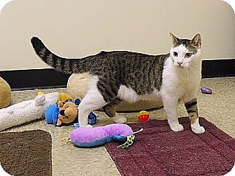 Domestic Shorthair Cat for adoption in Pineville, North Carolina - Leo