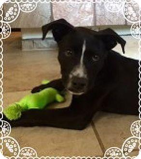 Pit Bull Terrier/Labrador Retriever Mix Puppy for adoption in Las Vegas, Nevada - Abner