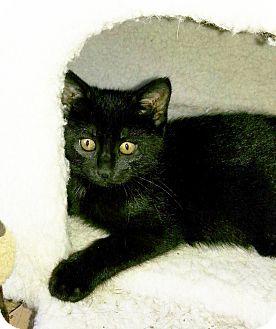 Domestic Shorthair Kitten for adoption in Arlington/Ft Worth, Texas - Molly