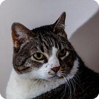 Domestic Shorthair Cat for adoption in Decatur, Georgia - EMMIE