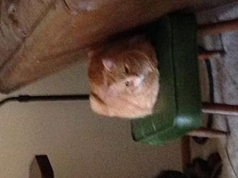 Maine Coon Cat for adoption in Phoenix, Arizona - Gigi