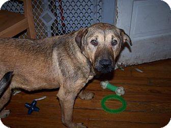 German Shepherd Dog Mix Dog for adoption in Libertyville, Illinois - Scarlet