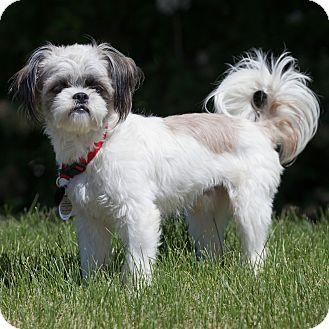 Shih Tzu Dog for adoption in Jackson, Idaho - Rio