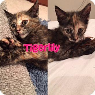 Domestic Shorthair Kitten for adoption in Anaheim Hills, California - Tigerlily