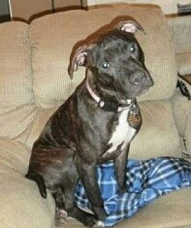 American Pit Bull Terrier Mix Dog for adoption in St. Charles, Missouri - Malcolm/Courtesy Posting!