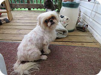 Shih Tzu/Pekingese Mix Dog for adoption in Hillsville, Virginia - Tinkerbell