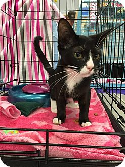 Domestic Mediumhair Kitten for adoption in Mansfield, Texas - Claire
