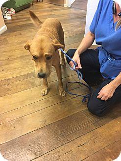 Labrador Retriever/Hound (Unknown Type) Mix Dog for adoption in Billerica, Massachusetts - Duke