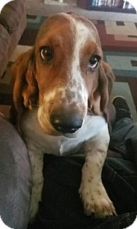Basset Hound Dog for adoption in Woodland, California - Buttercup