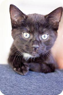 Domestic Shorthair Kitten for adoption in Huntington, West Virginia - Wynken