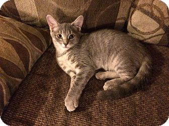 Domestic Shorthair Kitten for adoption in THORNHILL, Ontario - Tater Tot