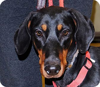 Doberman Pinscher Mix Dog for adoption in Spokane, Washington - Aria