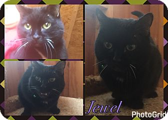 Domestic Shorthair Cat for adoption in Midland, Texas - Jewel