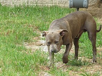 Adopt A Pet :: Tommie  - Henderson, NC