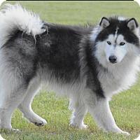 Adopt A Pet :: Kinou - Longview, TX