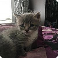 Adopt A Pet :: Catalina (Medford kittens) - Medford, NJ