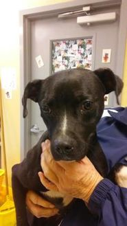 American Staffordshire Terrier Mix Dog for adoption in Savannah, Tennessee - Neese
