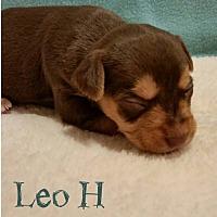 Adopt A Pet :: Leo H - Shreveport, LA