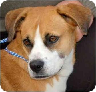 Boxer Mix Dog for adoption in Inman, South Carolina - Drew