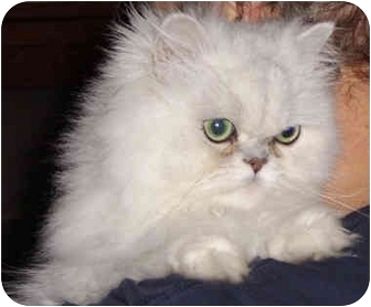 Persian Cat for adoption in Beverly Hills, California - Randall