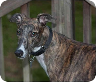Greyhound Dog for adoption in Knoxville, Tennessee - Klutz