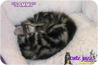 Domestic Mediumhair Kitten for adoption in Cedar Creek, Texas - Sammy