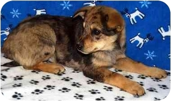 Australian Cattle Dog/Shepherd (Unknown Type) Mix Puppy for adoption in Broomfield, Colorado - Lobo