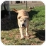 Photo 3 - Shar Pei/German Shepherd Dog Mix Puppy for adoption in Portland, Maine - Sugar Plum