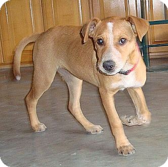 Labrador Retriever Mix Puppy for adoption in Beacon, New York - Ruby (Urgent) (Now $200))