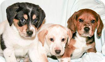 Labrador Retriever/Beagle Mix Puppy for adoption in Howell, Michigan - Stella's Puppies Females