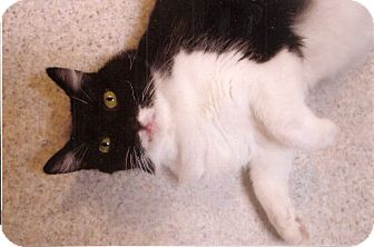 Maine Coon Cat for adoption in Davis, California - Sylvester