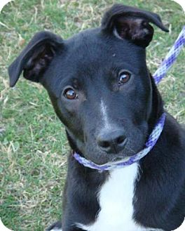 Border Collie Mix Puppy for adoption in Red Bluff, California - Popcorn