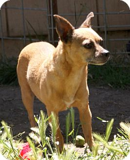 Chihuahua Mix Dog for adoption in Yuba City, California - 04/30 Sugar