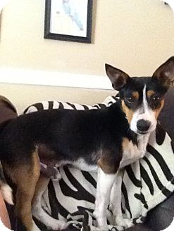 Rat Terrier/Beagle Mix Dog for adoption in Manhasset, New York - Jaxson