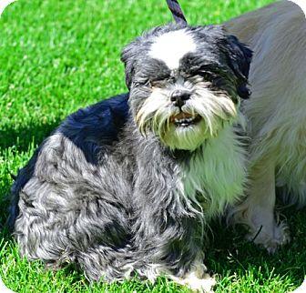 Shih Tzu Dog for adoption in Gardnerville, Nevada - Scampi