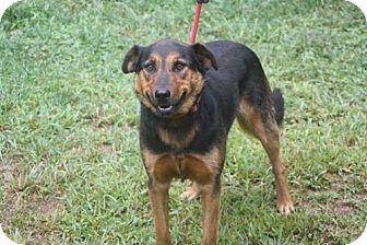 Shepherd (Unknown Type)/Labrador Retriever Mix Dog for adoption in Staunton, Virginia - Mollly