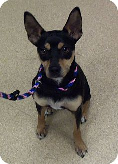 Miniature Pinscher/Jack Russell Terrier Mix Dog for adoption in Brookings, South Dakota - Phineas