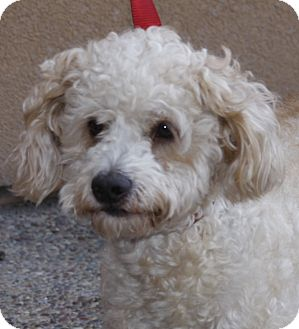 Poodle (Miniature) Mix Dog for adoption in Westminster, California - Maxx